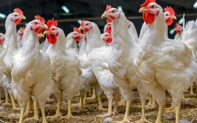 Gut Health In Poultry Production | Why, What and How