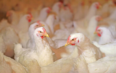 Heat Stress in Poultry Production