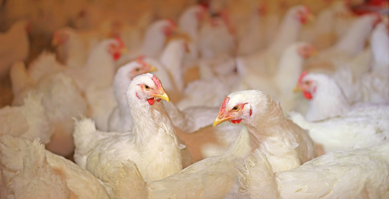 Poultry Heat Stress